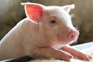 Giá lợn hơi hôm nay 10/8: Tăng giảm trái chiều