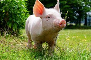 Giá lợn hơi hôm nay 21/7: Điều chỉnh tại nhiều tỉnh thành trên cả nước