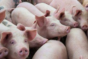 Giá lợn hơi hôm nay 1/9: Đồng loạt đi ngang