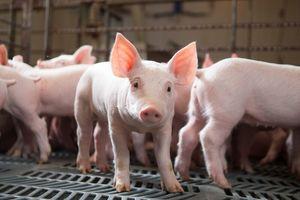 Giá lợn hơi hôm nay 13/8: Tăng nhẹ 1.000 đồng/kg tại miền Nam