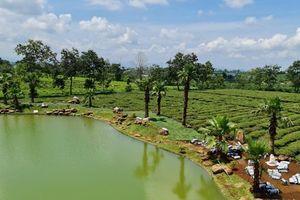 Ngành chè Lâm Đồng cần quy hoạch sản xuất chè gắn với vùng sinh thái