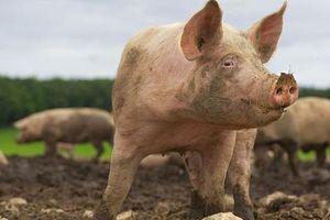 Giá lợn hơi hôm nay 9/6: Đứng yên tại nhiều tỉnh thành