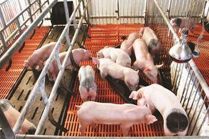 Giá lợn hơi hôm nay 1/10: Điều chỉnh giảm 1.000 - 3.000 đồng/kg tại một vài địa phương