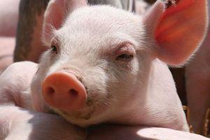 Giá lợn hơi hôm nay 17/7: Tăng giảm trái chiều tại miền Trung, Tây Nguyên và miền Nam