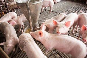 Giá lợn hơi hôm nay 16/8: Tăng giảm trái chiều tại một số địa phương trên cả nước