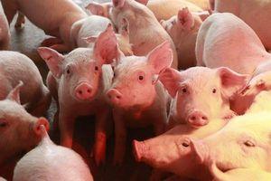 Giá lợn hơi hôm nay 9/10: Giảm nhẹ tại miền Nam